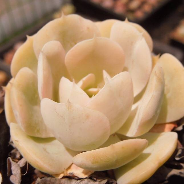 PRESALE Echeveria Akaihosi, Non-Variegated, (Not So Random)
