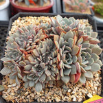 (AVAILABLE) PRESALE Echeveria Tuxpan, Cristata