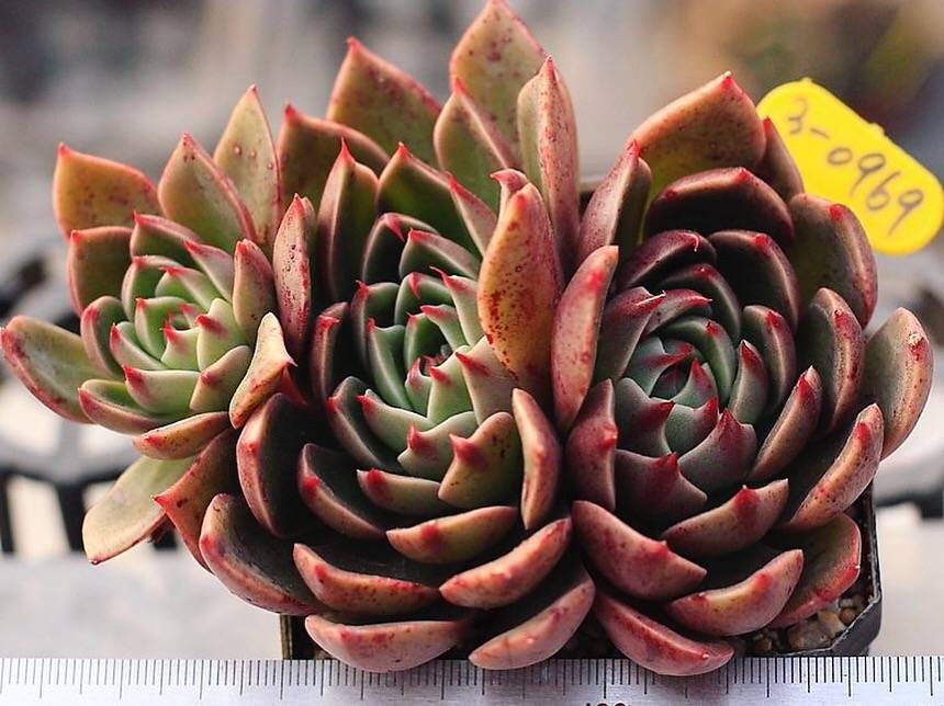 Echeveria Rudolph, Triple (Large)