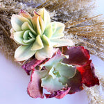 Echeveria Japan Moon River Sp. (In Stock)