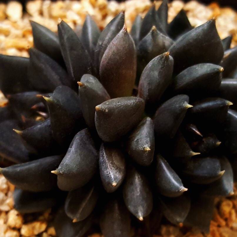 (RESERVED FOR Kimberly Barnett) PRESALE Echeveria Black Knight, Triple