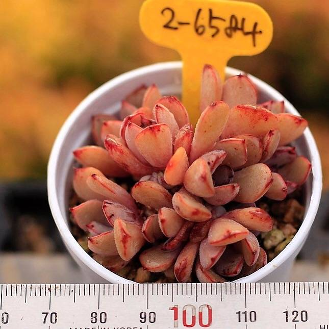 PRESALE Echeveria Sp, Cluster