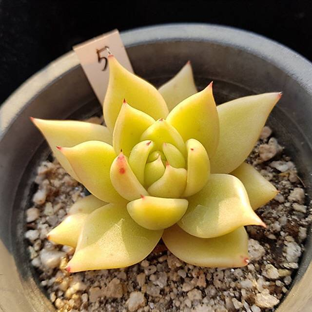 Echeveria Agavoides var. Caespitosa, (Not so Random)