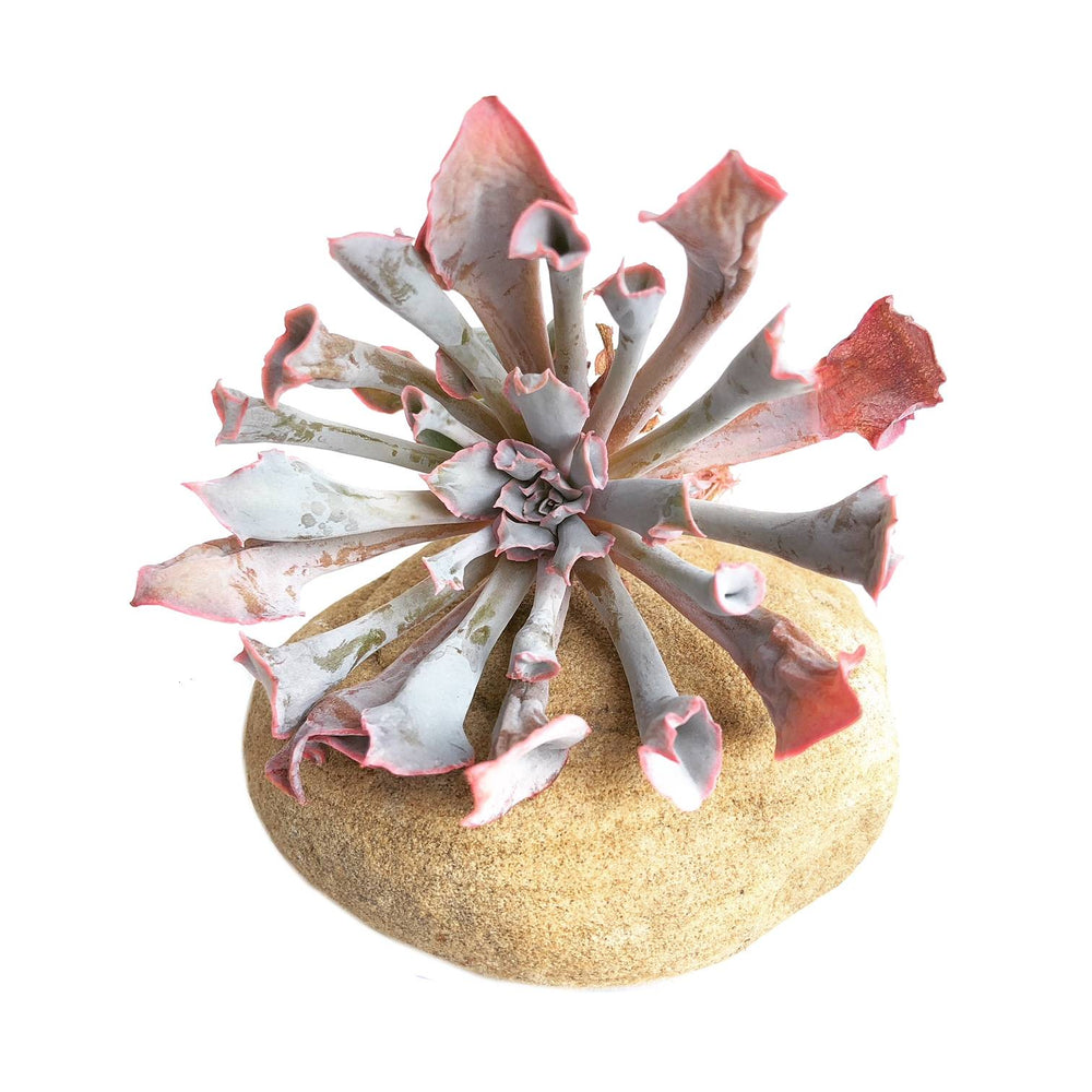 The GOOD, The BAD and The UGLY SALE! Echeveria Trumpet Pinky