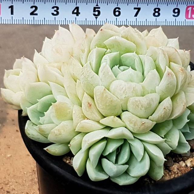 PRESALE Echeveria Hughmillus, Cluster (Not So Random)