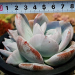 PRESALE Echeveria Ivory, Double, (Not So Random)