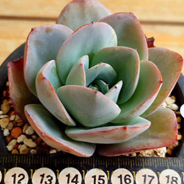 SPECIAL! JUST CART!! PRESALE Echeveria Brinks Blue, (Not So Random)
