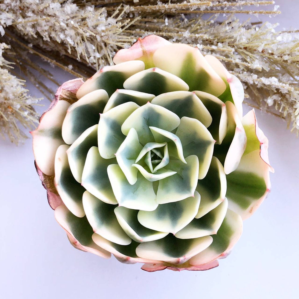 Echeveria Lenore Dean, Variegata (In Stock)