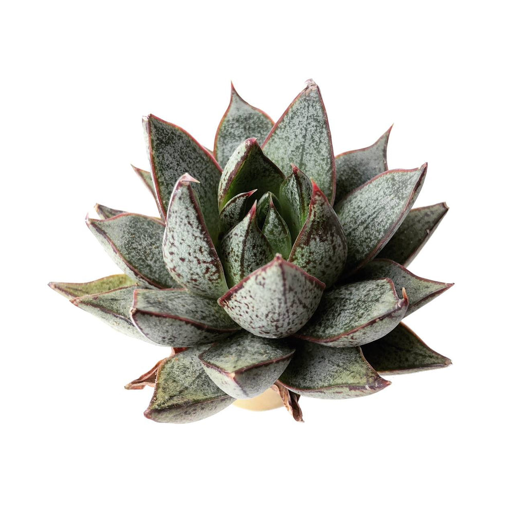 Echeveria Purpursorum, Variegata