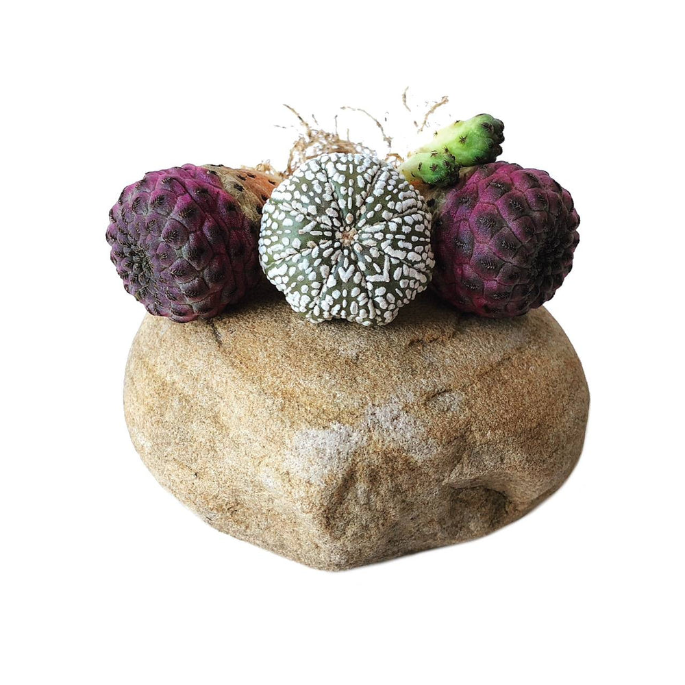 Cacti (You pick: Astrophytum Super Kabuto or Sulcorebutia Rauschii)