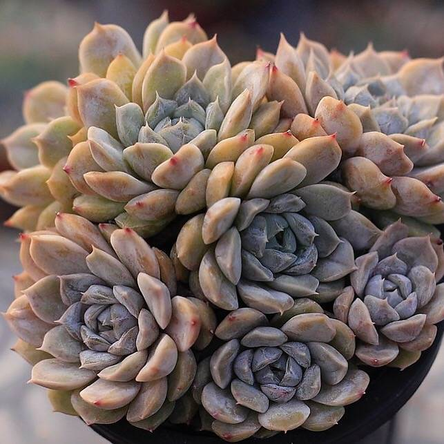 Echeveria Mary Bell, Cluster
