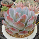 (RESERVED FOR NICOLE PICINIC), PRESALE Echeveria HOSIKAGE