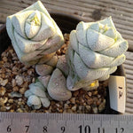 Crassula Deceptor Brevifolia, Mature Specimen, (Not so Random)