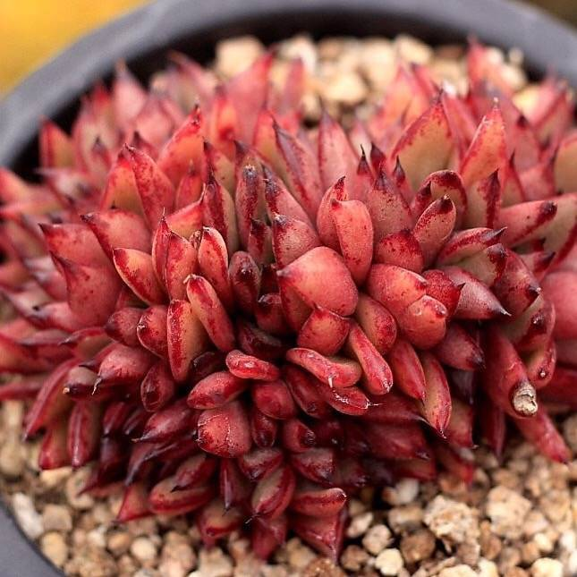 SALE! Echeveria Agavoides Mundy, Cristata (color/shape changes)