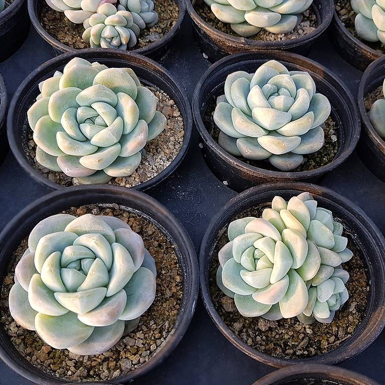 4th OF JULY FLASH SALE- DEAL #9 PRESALE Echeveria Ice Green