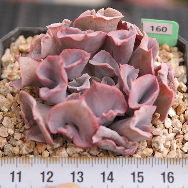 FLASH SALE- PRESALE Echeveria Trumpet Pinky, (Random)