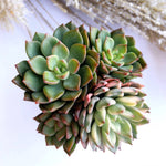 Echeveria Emerald Green, Variegata