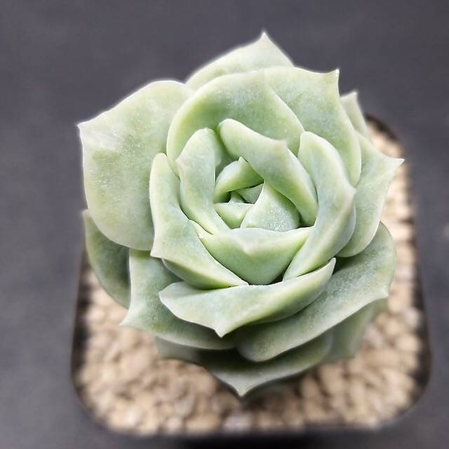 PRESALE Echeveria Lovely Rose, (Random)