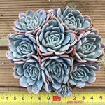 Echeveria Pink Angel, Cluster, (Not so Random)