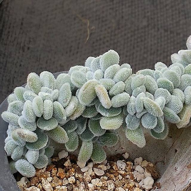 PRESALE Echeveria Frosty Cristata, (Not So Random)