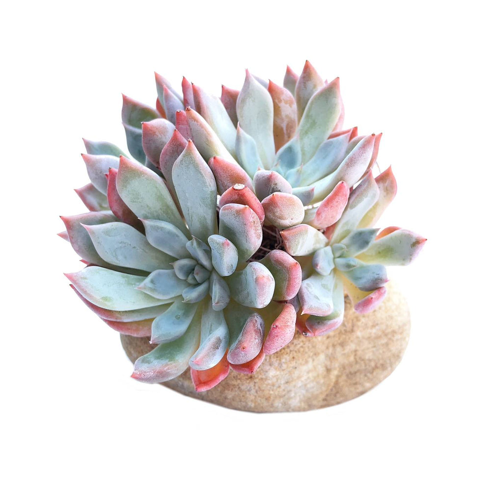 The GOOD, The BAD and The UGLY SALE! Echeveria Orange Sherbet