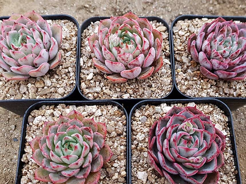 PRESALE Echeveria Sp., (Random)