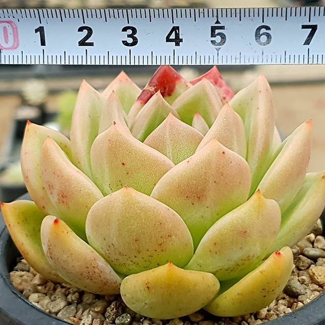 PRESALE Echeveria Agavoides Sp., (Not So Random)