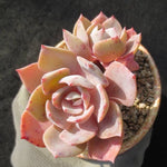 Echeveria Runyonii cv, (Not so Random)