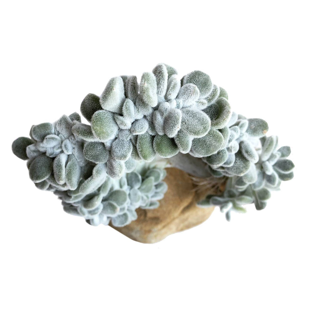 The GOOD, The BAD and The UGLY SALE! Echeveria Frosty, Cristata