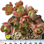 PRESALE Aeonium Saundersii, (Adodes), (Not so Random)