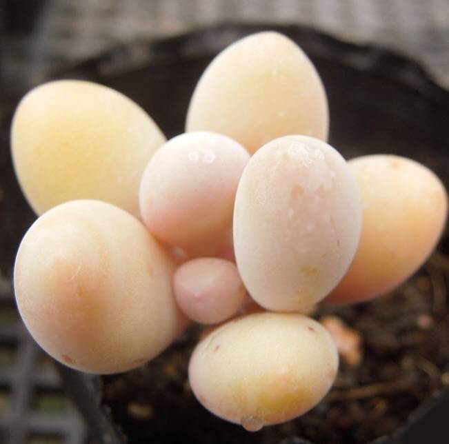 PRESALE Pachyphytum Beauty, (Random)