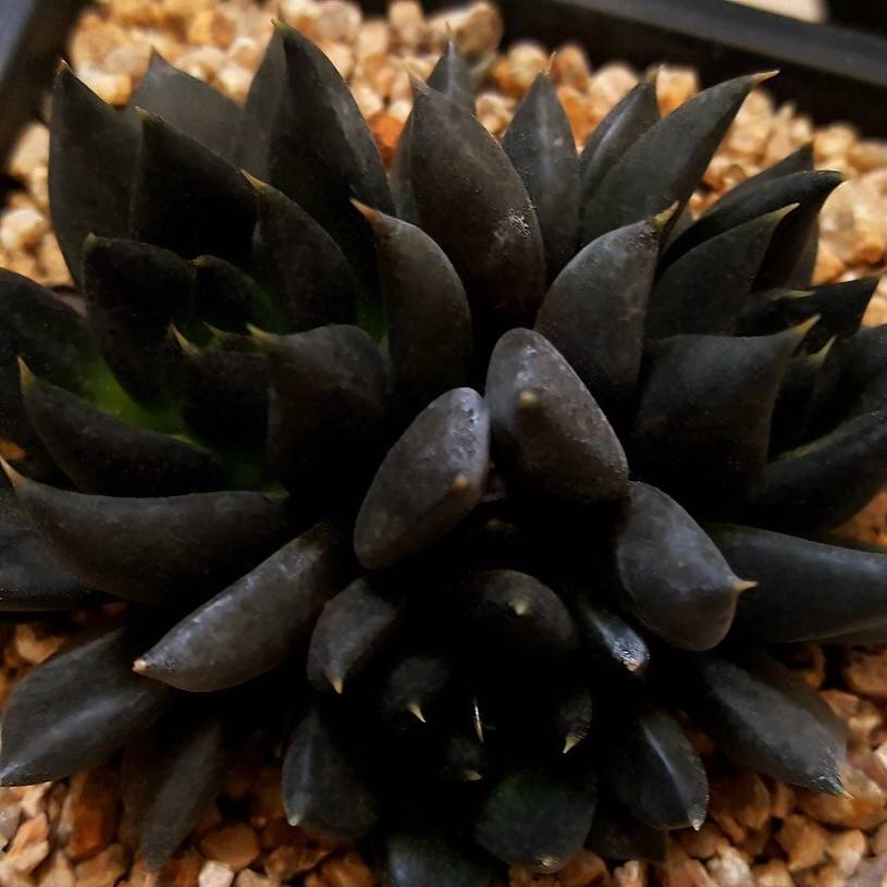 (RESERVED FOR Alice Caines) PRESALE Echeveria Black Knight, Triple