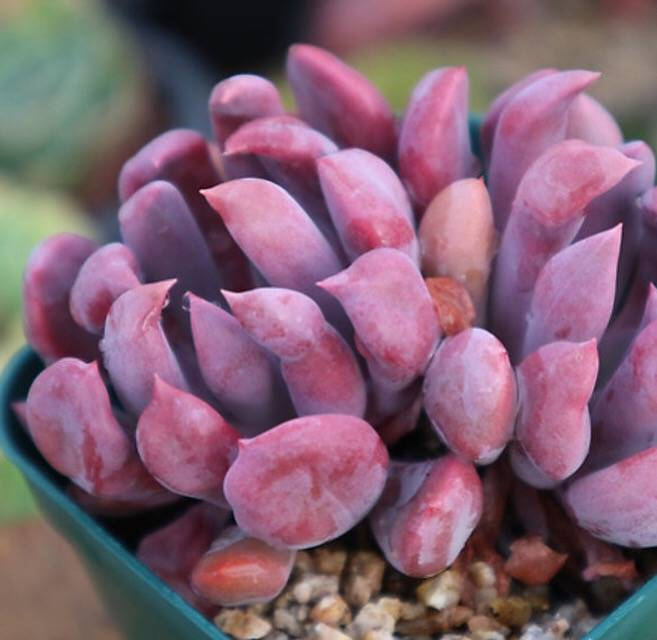 PRESALE Echeveria Cupid, (Random)