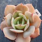 Echeveria White Snow, (Random)