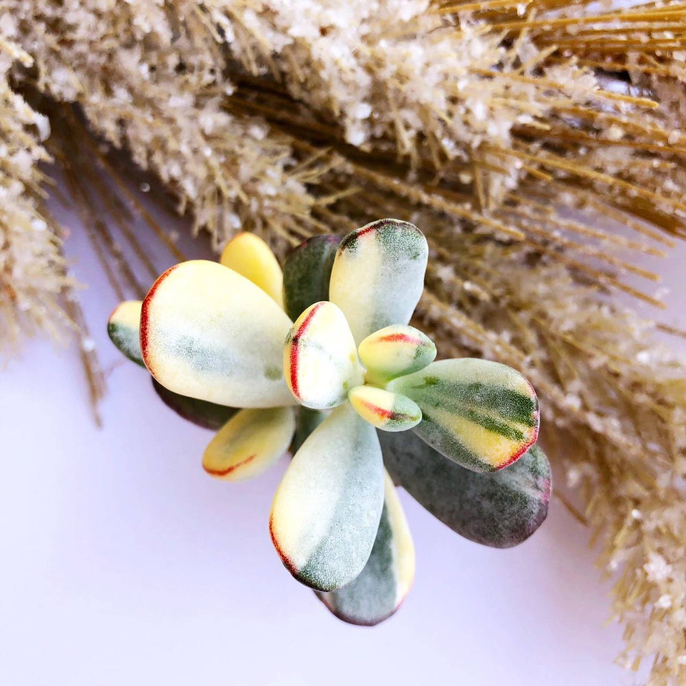 Cotyledon Orbiculata, Variegata, Large Form (In Stock)