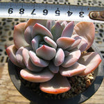 PRESALE Echeveria Cream Tea, (Random)