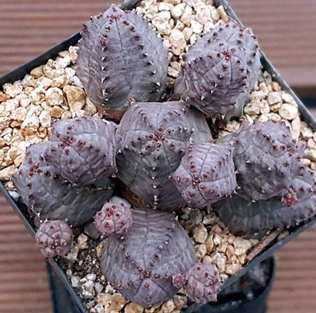 (AVAILABLE) PRESALE Euphorbia Obesa, Cluster