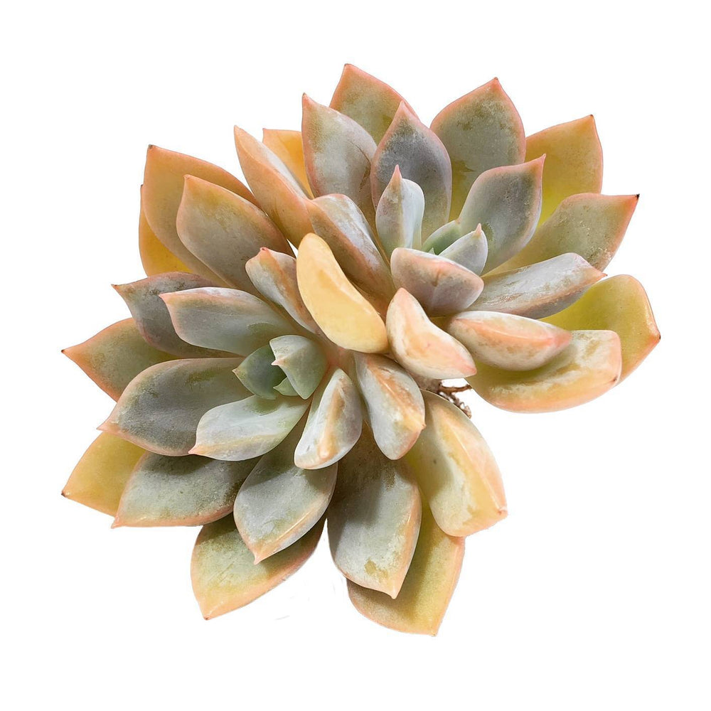 (RESERVED FOR ELIZABETH B.), Echeveria Happy Day