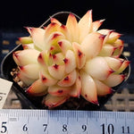 PRESALE Echeveria Sp., Triple, (Not So Random)