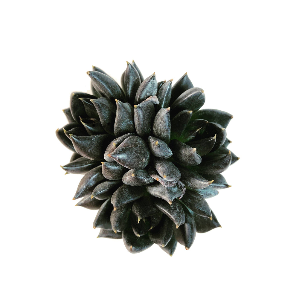 Echeveria Black Knight, Triple