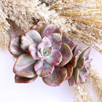 Graptoveria Bainesii, Variegata (In Stock)