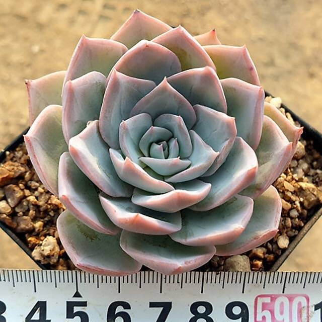 SPECIAL! JUST CART!! PRESALE Echeveria 'Grand Blue,' (Not So Random)