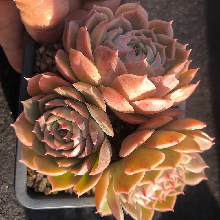 Echeveria Onslow, Cluster, (Not so Random)