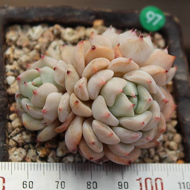 PRESALE Echeveria Zaragosa Hybrid, Cluster, (Not So Random)