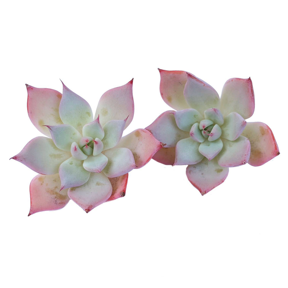 The Good, The Bad and The UGLY! Echeveria Largea, As Shown (or Random)- Your Choice!