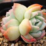 SPECIAL!! JUST CART! PRESALE Echeveria Water Lily, Double