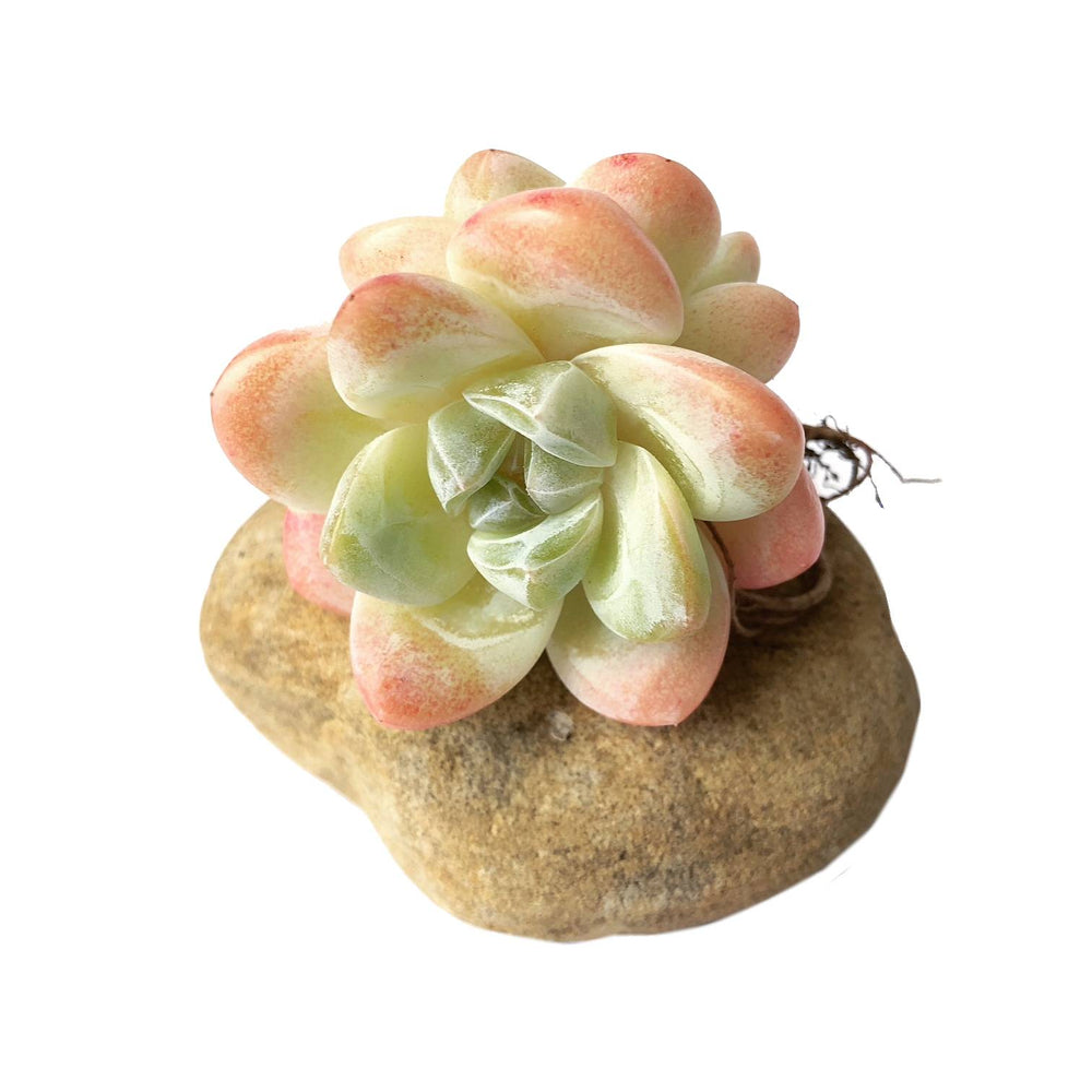 Echeveria Ice Green, Double