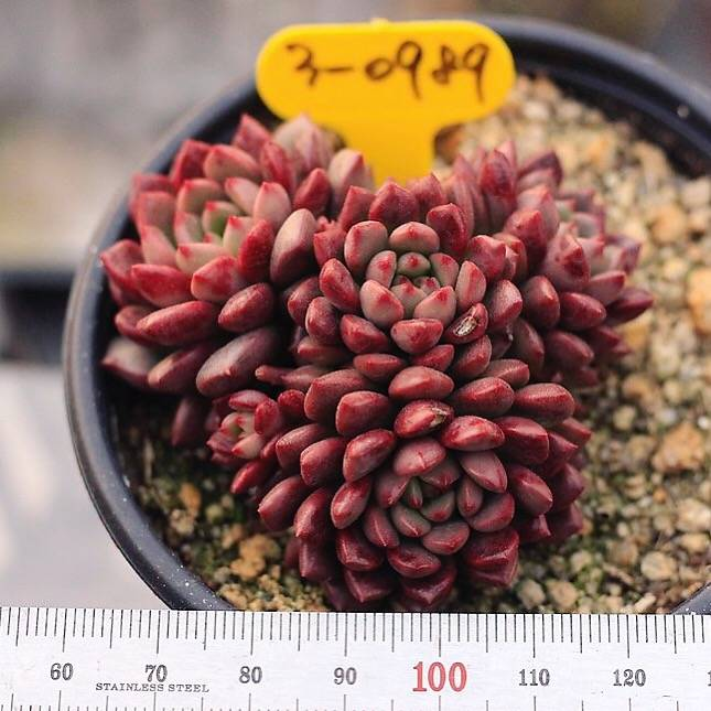 SALE! Sedeveria Pink Ruby, Cluster
