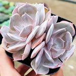 Echeveria Marilyn, Double, (Not so Random)