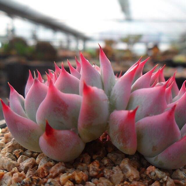 PRESALE Echeveria Chihuahuaensis Sp., (Not So Random)